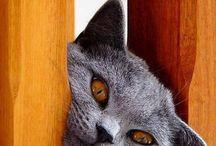 """Gatto """"certosino"""""""