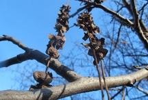 Pterocaria fraxinifolia