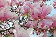 Virágzó fák