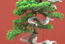 Jardines  / Bonsai