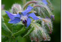 edible flowers / by Cheryl Sigler