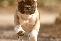French bulldogs...