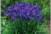 Perennial Flowers / Welcome to the Dreamyard Pinterest board for perennial flowers. We hope these images give you some great perennial flower garden ideas for your own yard.