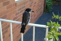 Wildlife / Does anyone know what type of Australian wildlife bird this is? It is not a magpie and every morning he makes the most beautiful musical sounds.