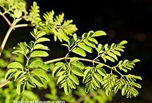 The power of Moringa Olifera ~ The Tree of Life...  Zija ~ The Moringa Companyhttp://vcdovicenko.myzija.com/