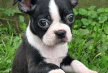 Boston Terrier  / by Katie Mollenhoff