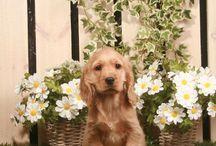 TOBY #puppy #cockerspaniel