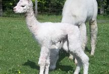 Alpaca babies 2015 / It's cria season at Snowshoe Farm. Take a look at some of our new babies.