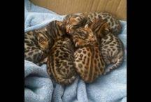 BUY OCELOT KITTENS/ BUY EXOTIC KITTENS/ OCELOT KITTENS FOR ADOPTION/ exotickittenshouse@gmail.com