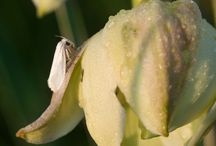 Yucca and Yucca moth / Mutualism