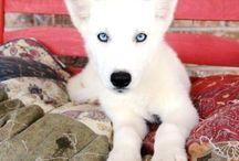 Siberiano husky puppies