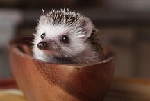 Hedgehog and her buddy :-) Sünci és a haverok