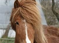 Islændere heste