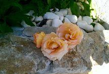 Roseiras / Rosas