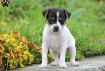 Smooth Fox Terrier Puppies and Dogs