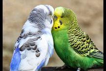 Suara Parkit / Suara Burung Parkit