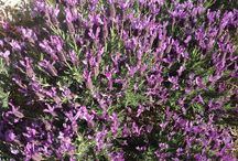 Lavender Garadens