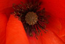 Red Poppy Colors / The many ways colors influence the things we see in our everyday lives.