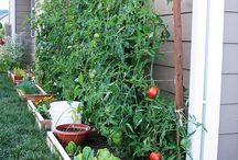 Pomidory przy scianie