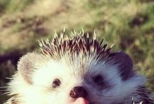 Hedgehogs ♡