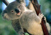 koalas / koalas are just frickin awsome