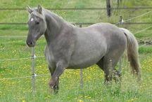 Dun horses