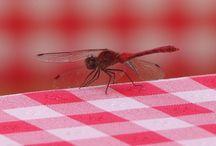 Dragonfly - szitakötő / Új mániám :-) Imádom őket, gyönyörűek, légiesek