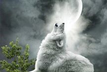 WOLVES...Wild