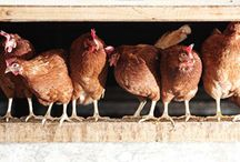 Our Feathered friends / All our birds are reared with us from day old chicks and fed on our own blended feed mixes