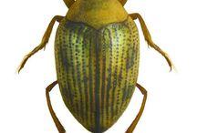 haliplidae