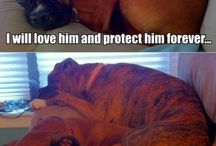 Mastiffs and Boxers / Dogs
