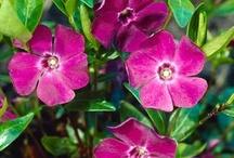 Rosa/lila perenner