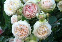 Staré odrůdy růží | Old roses