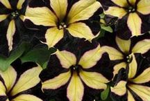 Top Selling Annual & Perennial Plants / www.gardencrossings.com your online source for new and unique annuals, perennials, and shrubs. Here is a collection of our Top Selling Plants.