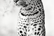 30 Mind Blown Black & White Photography of Tigers / Beautiful Tigers