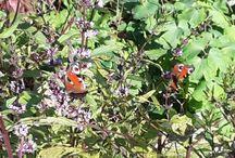Perhoset Butterflies