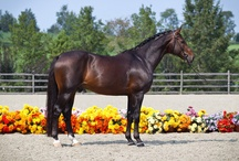 Westphalian / country of origin - Germany | average height 157-177 cm | colours - black, bay/brown, chestnut, grey | uses - dressage, show jumping, eventing