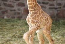 Giraffes / Find Your Giraffe here