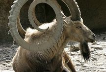 Goat..sheep..ibex...elk...