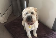 Soft coated Wheaten Terriers / Dogs