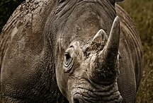 Rhino Friday's / Rhino Everyday!!  / Pin photo's to help spread awareness for our Rhino's!!