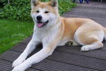 Akita / Akita dog breed pictures