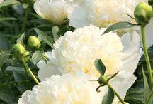 White peonies/ Valkoiset pionit / So elegant! Love for white peonies!