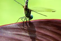 Dragonflies in My Pond / Build it and they will come!  Dragonflies around my pond.