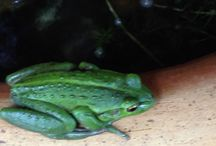 Frogs / We here @CelestineRetreat Denmark WA have a very healthy eco system with lots of Frogs