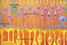 Retina / Retina