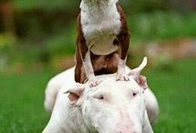 Super Bully Dog
