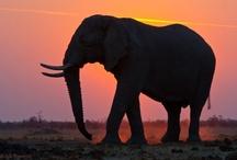 Elephants / by Angela