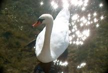 Swans of Hårte, Sweden & other Swans / by Gullringstorpgoatgal Sweden
