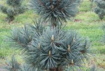 Pinus flexilis-Nevadai cirbolyafenyő